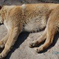 Pulgas en perros y gatos - Valencia hospital Veterinario