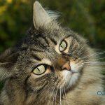 El gato del bosque de noruega