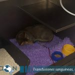 Transfusiones sanguíneas para gatos