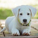 Preguntas sobre la inseminación artificial en perros