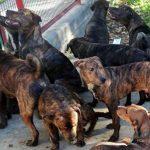 Abandonan 18 perros de raza peligrosa en un parque infantil