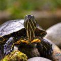 Consejos para cuidar de una tortuga de agua