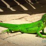 Consejos básicos para el cuidado de la Iguana