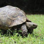 Curiosidades de las tortugas de tierra