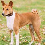 Basenji, el perro que no ladra