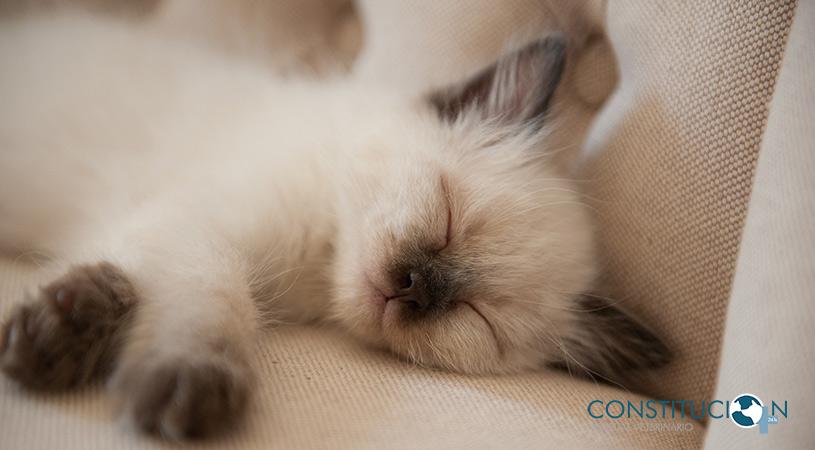 Cuidados De Un Gato Recién Nacido Hospital Veterinario Constitución