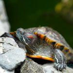 Cuidados para una tortuga de agua en casa
