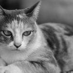 ¿Qué hacer si mi gato tiene fiebre?